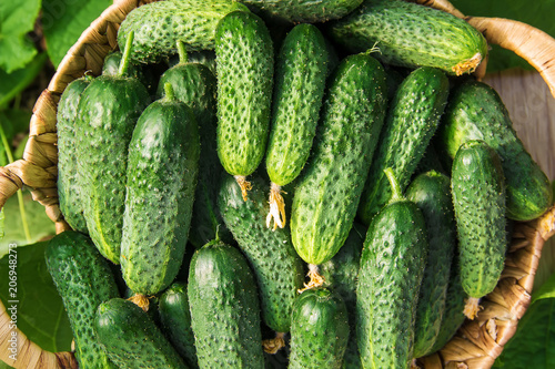 Photo  homemade cucumber cultivation and harvest. selective focus.