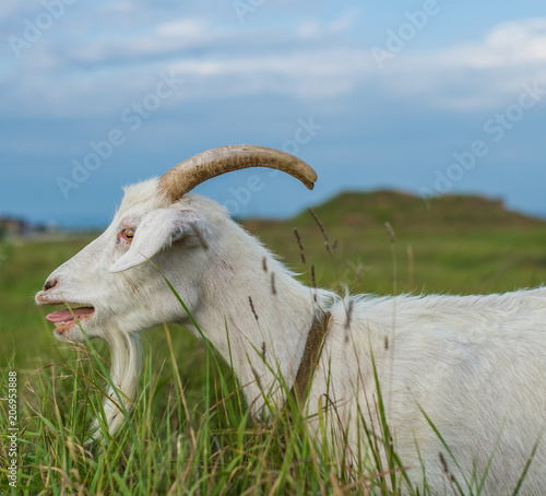 A white goat with his mouth open is standing in the grass in the meadow Wallpaper Mural