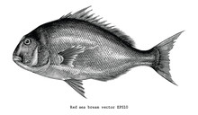 Red Sea Bream Fish Hand Drawing Vintage Engraving Illustration