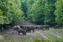 Wild Hogs In The Forest