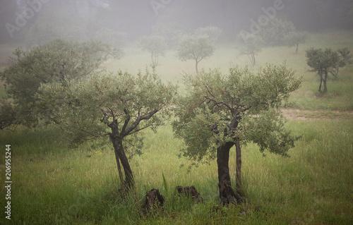 Fotobehang Olijfboom Olive trees in a fog. Mistral wind blows in Provence (France).
