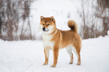 Japanese Red Coat Dog Is In Winter Forest. Profile Portrait Of Adorable Shiba Inu Male Standing In The Forest On The Snow And Trees Background.