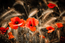 Red Poppies And Wheat Spikes. ...