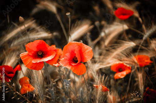 Red poppies and wheat spikes. Vintage sepia background. Selective focus.
