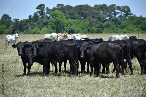 Photo black Angus cow herd
