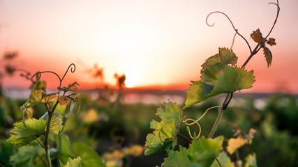 vinograde i lozu u zalazak sunca