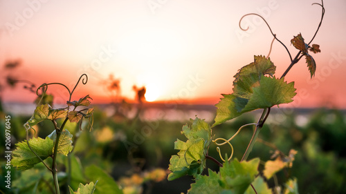 Fotobehang Wijngaard vineyards and a vine at sunset