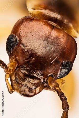Fotografie, Obraz  European Earwig, Common Earwig, Forficula auricularia