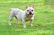 canvas print picture - french bulldog on  grass field