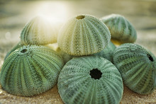 Skeleton Of A See Urchins In Shades Of Green Color On A Beach Sand