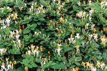 Background Of Wispy Honeysuckle With Thick Green Foliage And White And Yellow Flowers.