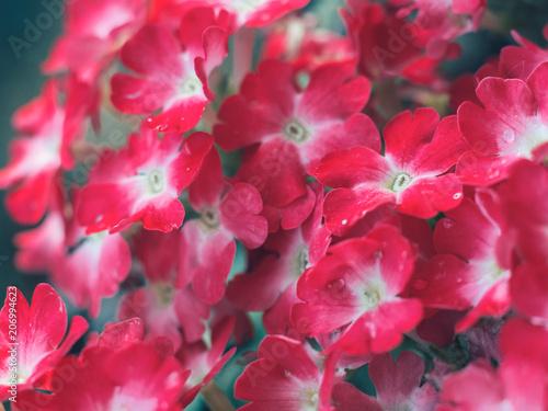 Foto op Plexiglas Macrofotografie Lovely little spring red flowers . Background for your desktop or postcards