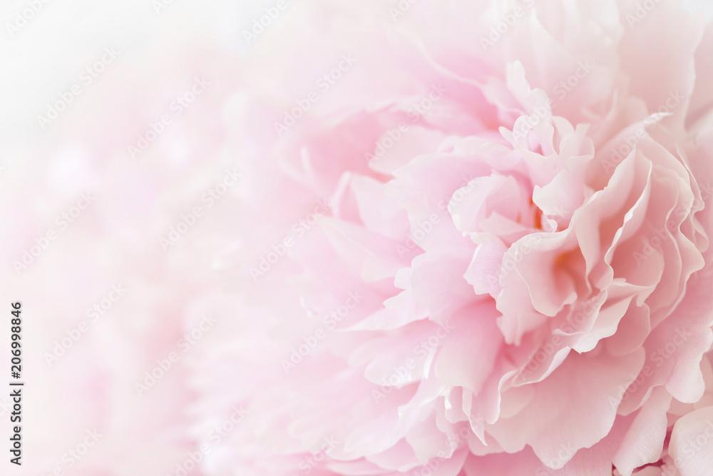 Fototapety, obrazy: beautiful pink peony flower background