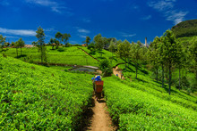 Tea Plantations And Factory In...