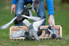 Training Racing Pigeons