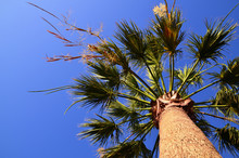 Flowering Washington Palm Tree...