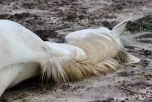 Dead Or Sleeping Horse On Ground