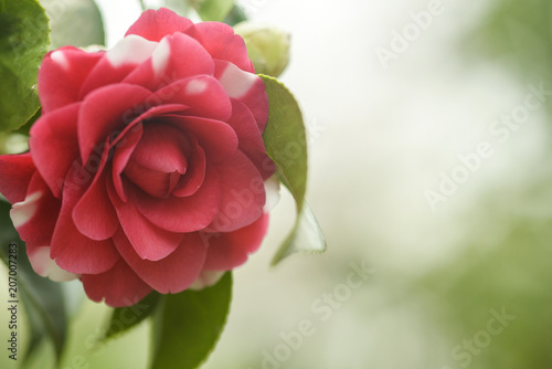 Photographie red camellia flower in bloom in spring