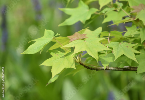 Fotografie, Obraz  Beautiful Branch with a Group of Green Maple Leaves