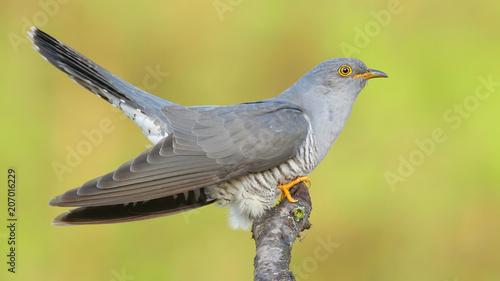 Common cuckoo. Cuculus canorus.