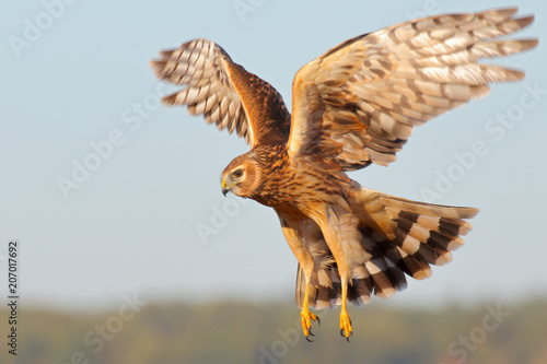 Stickers pour porte Poules Hen Harrier. Circus cyaneus. Northern harrier.