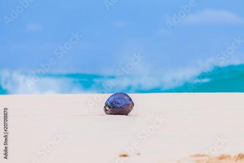 Foto  dry coconut on Nai Harn beach