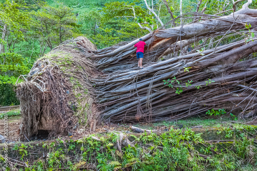 Photo banian géant déraciné par la tempête Fakir, île de la Réunion