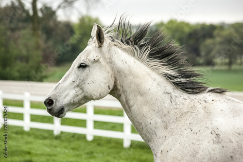A head shot of a gray horse running with his black and white mane flying in front of a white board fence with green grass and trees in the background.