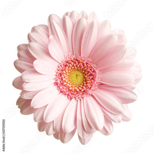 Foto op Plexiglas Gerbera Pink gerbera flower isolated on white background
