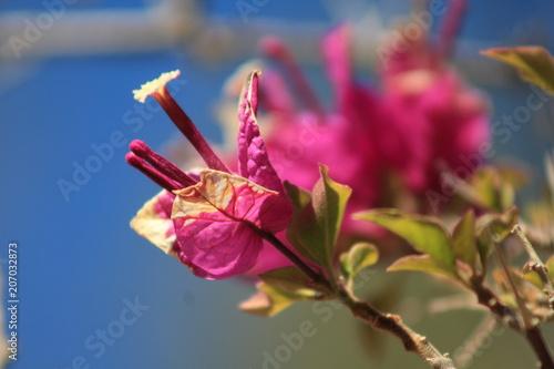 Papiers peints Azalea colourful pink flower in nature, clear blue sky in background, Mallorca, Spain, Espana