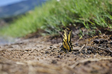The Little Yellow Butterfly On...