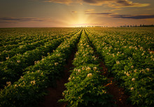 Sunset Over A Potato Field In ...