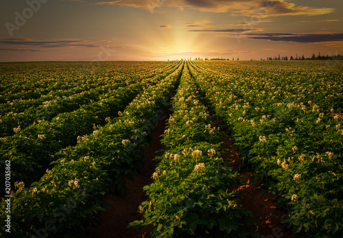 Ingelijste posters Platteland Sunset over a potato field in rural Prince Edward Island, Canada.