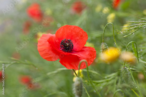 Poster Poppy wild poppies - remembrance day, Anzac day