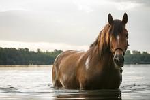 Pferd Im See