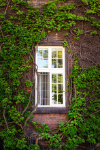 Window Of A House Overgrown With Ivy