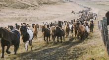 Authentic Wild Icelandic Horses In Nature Riding.