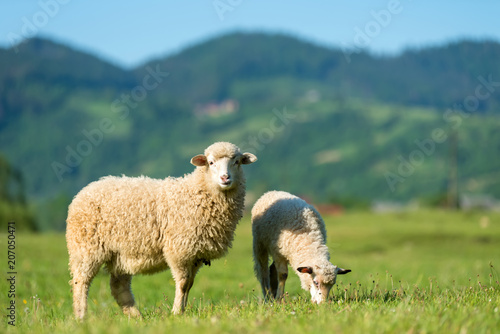 Spoed Fotobehang Schapen Sheeps in a meadow in the mountains