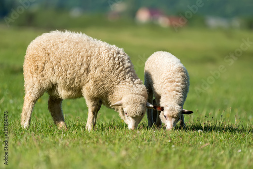 Tuinposter Schapen Sheeps in a meadow in the mountains