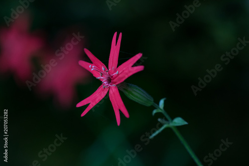 Fotografie, Obraz  Single Fire Pink bloom, pink red wildflower close-up