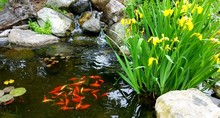 Koi Pond With Brightly Colored School Of Orange Koi Fish And Water Plants; Landscaping, Water Features, Design Ideas For Outdoors, Green Thumb