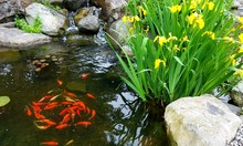 Small Koi Fish, Swimming In A Circle In A Natural Pond With Flowering Irises And Natural Stone; Landscaping, Gardening, Water Features, Green Thumbs
