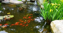 Koi Fish In Pond With Tall Iri...