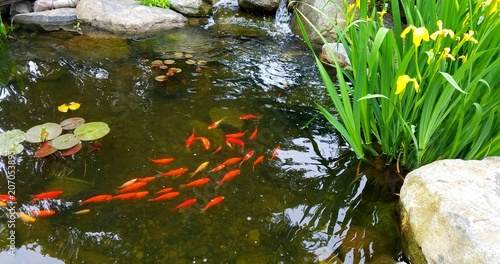 Fotomural Koi Fish in Pond with Tall Irises and Natural Stones; Landscaping and Water Feat