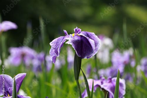 Spoed Foto op Canvas Iris 花菖蒲の開花