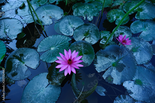 Top view of beautiful pink lotus flower with green leaves in pond Wallpaper Mural