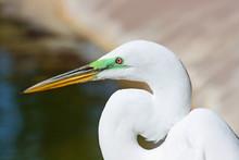 Head Of Snowy Egret In Profile, Florida