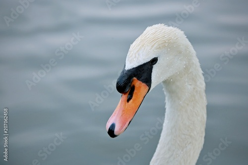 Foto auf Acrylglas Schwan Close up portrait of elegant white mute swan with black eye and orange beak and white neck, blurry blue water background with riggle