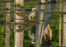 Reflection Of Great Blue Heron