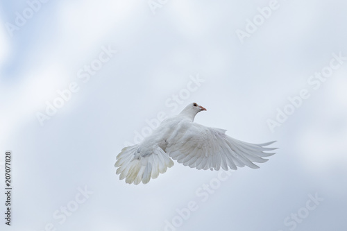 white feather homing pigeon flying over sky